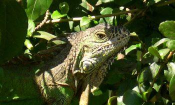 iguana_01